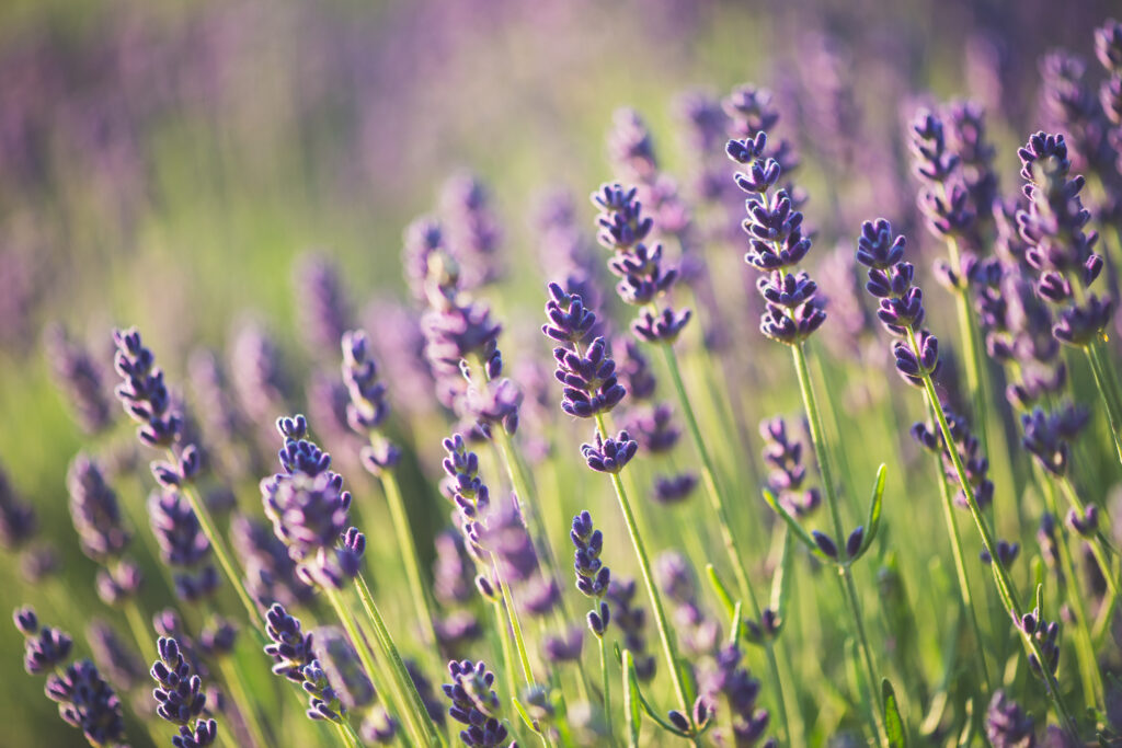 This image has an empty alt attribute; its file name is Lavender-1024x683.jpeg